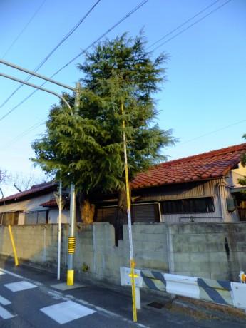 伐採 大木